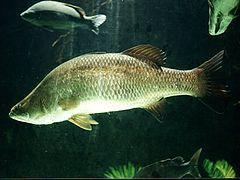 魚・Barramundi(バラマンディ)が美味しい!