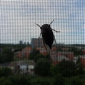 窓に蝉が張り付いていました!。