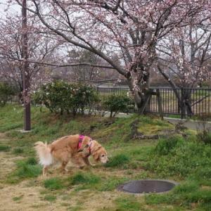 3月28日 桜はまだ~