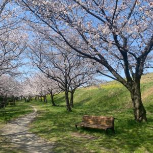 桜並木のお散歩❤️ウォーキング