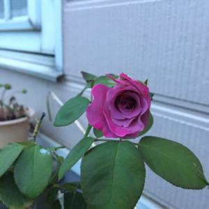 運転していると、街路樹や季節の花々が無に飛び込んでくる。と、薔薇。。