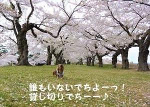 桜の季節到来!