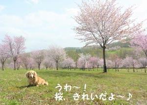 パレットヒルズの桜