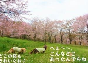 キトウシ森林公園の桜