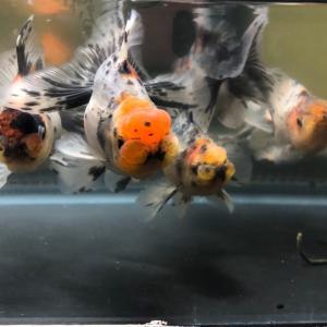 東錦 という名の金魚