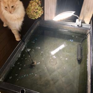 キャリピン稚魚 孵化後1週間