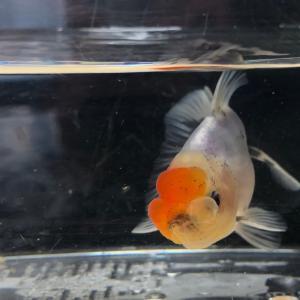 鈴木東錦 孵化後3.5ヶ月