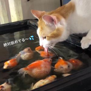 最近の猫と金魚事情