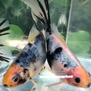 屋外金魚飼育の色揚がり