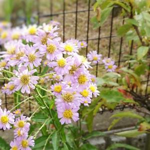【50代主婦の暮らし】癒し☆庭のお花やグリーン♪