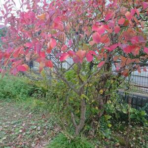 【50代主婦の暮らし】秋の癒し★庭に咲いたお花や紅葉を楽しんでます♪