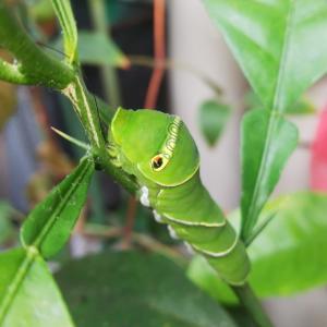 冒険者  アゲハチョウの幼虫