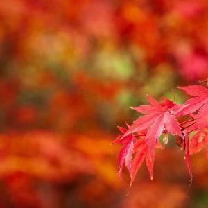 氷雨降る中の赤い楓の葉[山形県酒田市・2019/11/15]