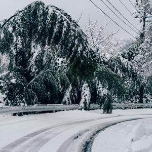 雪の重みで竹が[山形県酒田市・2020/1/21]