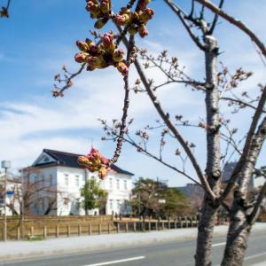 酒田と鶴岡の桜の名所の開花状況[2020/3/31]