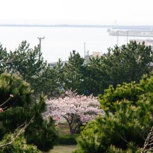 日和山公園の桜[山形県酒田市・2020/4/7]