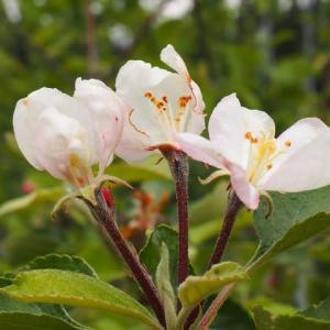 リンゴ栽培2020