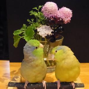 鳥に安全な剣山&マメルリ原画