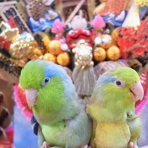 鳥連れ酉の市のマメルリハ2020