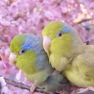 桜とマメルリハ2021