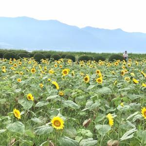 2020年滋賀県ひまわり畑の様子 守山市第1なぎさ公園の様子 スポサブランカ