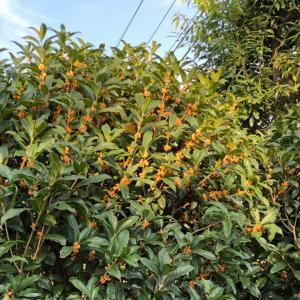 キンモクセイが香る秋空