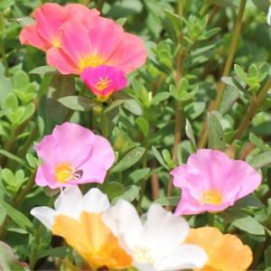 【虹色ポーチュラカ】リトミックの子ども達みたい!