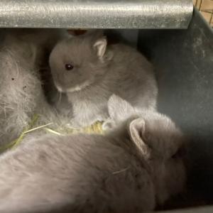 巣箱の中のライラックシルバーBABY