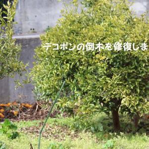 デコポンの木修復☆