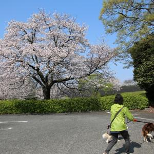 桜を見に地元の公園に行ってきました~!☆