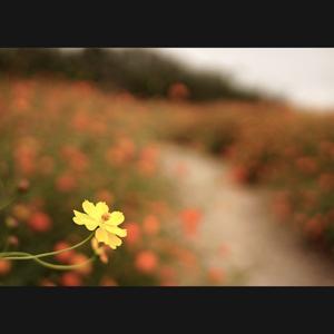 キバナコスモス咲く