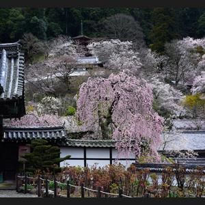 桜便り 7