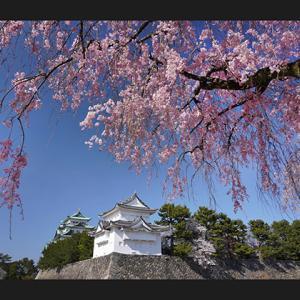 桜便り 8