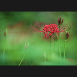 咲き始めの彼岸花1