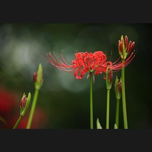 咲き始めの彼岸花2
