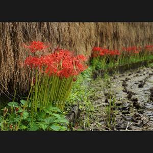 咲き始めの彼岸花3