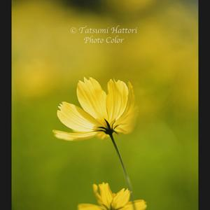 黄花コスモス咲く 3