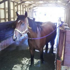 乗馬【21・22鞍目】/ロンドンタウンが種牡馬入りを断念、乗馬に
