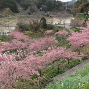 早咲き桜 頼朝桜と水仙 (千葉県鋸南町) 2020年2月19日