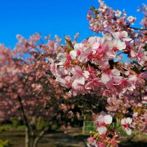 河津桜もそろそろ見納め