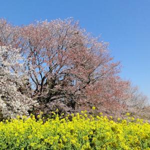 大俵の一本桜  「大俵桜」 千葉県市原市 2020年3月25日
