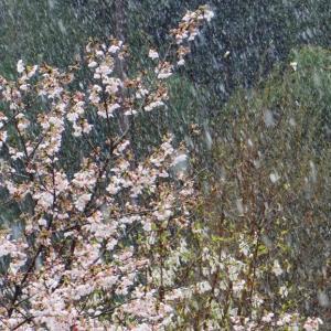 季節は外れの雪 桜と雪 (千葉県木更津市) 2020年3月29日