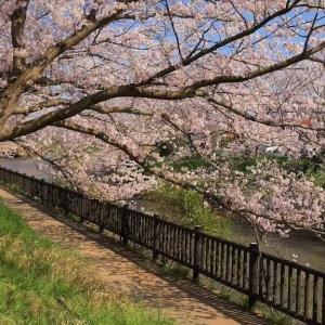 矢那川沿いの桜並木 (千葉県木更津市) 2020年4月2日