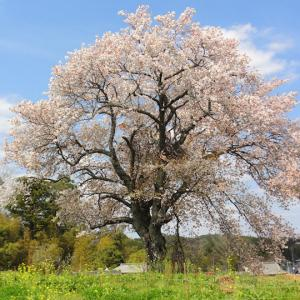 与市郎桜 里見の一本桜 (千葉県市原市) 2020年4月3日