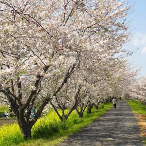 高柳さくら通り 満開の桜並木 (千葉県木更津市)