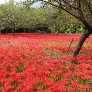 妙満寺 真っ赤に咲きほこる彼岸花 (千葉県勝浦市) 2020年9月30日
