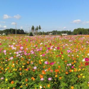 富田さとにわ耕園のコスモス畑 (千葉県千葉市) 2020年10月20日