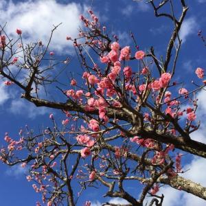 梅の花 袖ケ浦公園 (千葉県袖ケ浦市) 2021年2月14日