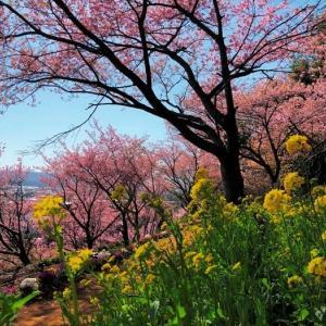 コスモチェリーガーデン 早咲き桜 (千葉県君津市) 2021年2月22日