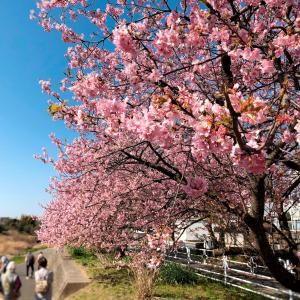 小糸川沿いの河津桜 (千葉県君津市) 2021年2月22日
